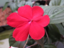 Glowing flat Impatiens blossom, bright red