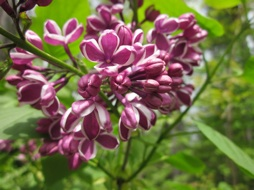 Deep pink-purple lilac blossoms edged with silvery pale.