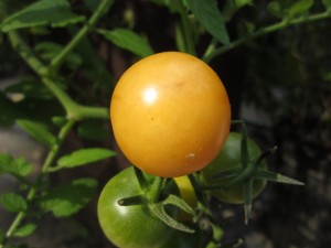 round, golden cherry tomato fruit