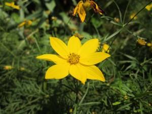 Bright yellow Coreopsis Moonbeam flower