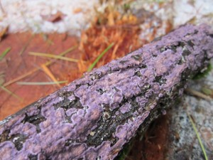 Purple Crust fungus essence dissolves ordinary reality attachments in the body-mind, the supermind, allowing choice and connection to the New Earth crystalline energy web. Photos shows circular purple crusts that merge on a fallen branch.