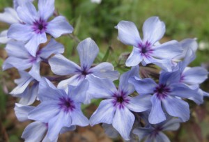 lovely pale lavender blue starry clusters of blossoms with bright purple eyes