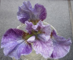 Delicately ruffled and veined blossom in shades of purple from palest to violet